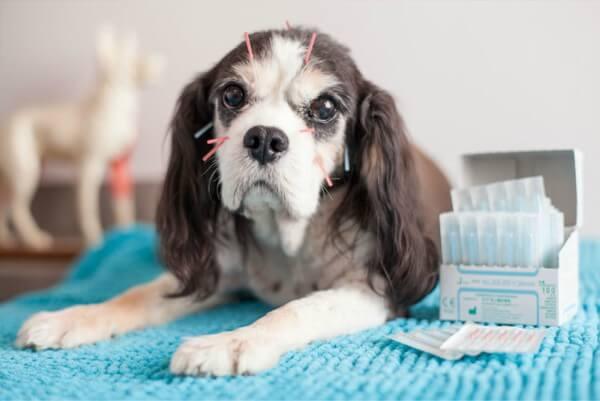 Animais de estimação se beneficiam da acupuntura