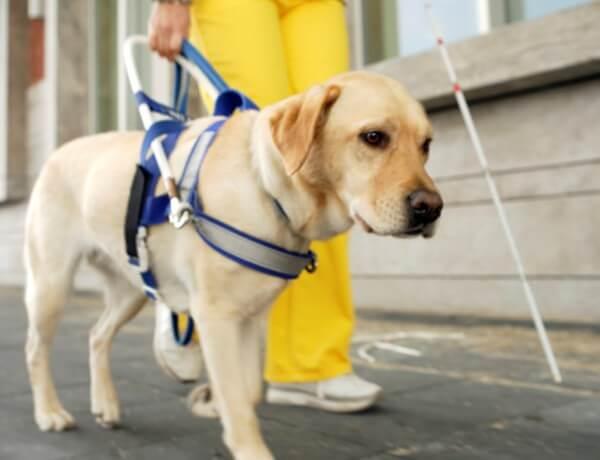 Por que existem tão poucos cães-guia no Brasil?
